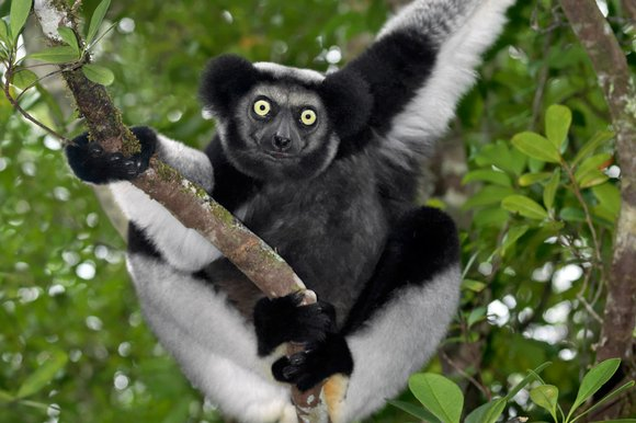 Indri, Madacascar