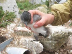 A Cassin's Auklet chick