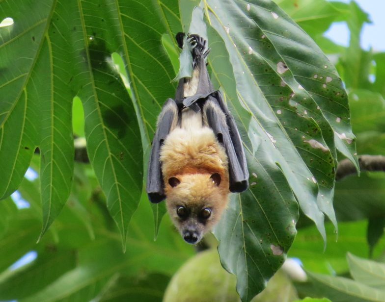 Solomon Flying Fox