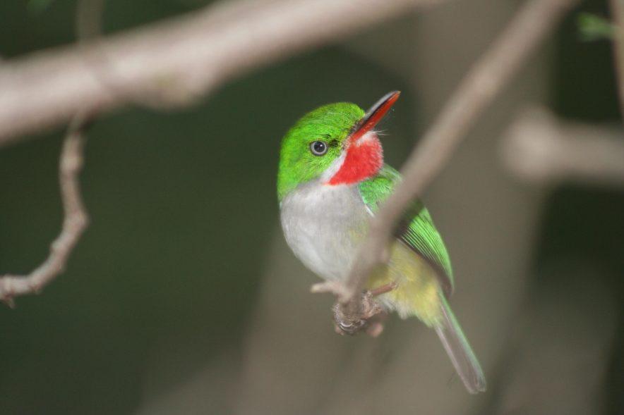 Puerto Rican Tody, a native bird of Puerto Rico. Photo credit: Jose Salguero.
